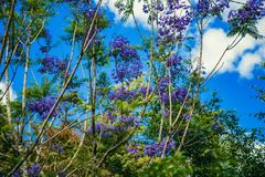 DALAT, VIETNAM - February 17, 2017: Jacaranda flowers bloom in the courtyard of a beautiful spring house in Dalat, Vietnam. Royalty Free Stock Photography