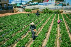 DALAT, VIETNAM - February 17, 2017. Vietnamese farmer picking strawberries in Da Lat, Vietnam. DALAT, VIETNAM - February 17, 2017. Vietnamese farmer picking Royalty Free Stock Photos