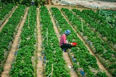 DALAT, VIETNAM - February 17, 2017. Vietnamese farmer picking strawberries in Da Lat, Vietnam. DALAT, VIETNAM - February 17, 2017. Vietnamese farmer picking Stock Photography