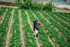 DALAT, VIETNAM - February 17, 2017. Vietnamese farmer picking strawberries in Da Lat, Vietnam. DALAT, VIETNAM - February 17, 2017. Vietnamese farmer picking Stock Images
