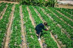 DALAT, VIETNAM - February 17, 2017. Vietnamese farmer picking strawberries in Da Lat, Vietnam. DALAT, VIETNAM - February 17, 2017. Vietnamese farmer picking Royalty Free Stock Images