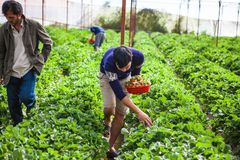 DALAT, VIETNAM - February 17, 2017. Vietnamese farmer picking strawberries in Da Lat, Vietnam. DALAT, VIETNAM - February 17, 2017. Vietnamese farmer picking Royalty Free Stock Photography
