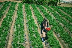 DALAT, VIETNAM - February 17, 2017. Vietnamese farmer picking strawberries in Da Lat, Vietnam. DALAT, VIETNAM - February 17, 2017. Vietnamese farmer picking Royalty Free Stock Photo