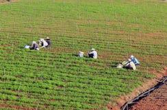 Dalat, Vietnam, il 18 gennaio 2016: Agricoltore che lavora nel campo Immagini Stock Libere da Diritti
