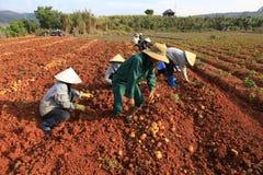 Dalat, Vietnam, il 18 gennaio 2016: Agricoltore che raccoglie le patate nel campo Fotografia Stock