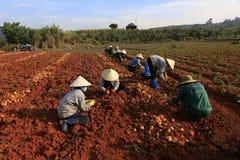Dalat, Vietnam, il 18 gennaio 2016: Agricoltore che raccoglie le patate nel campo Immagine Stock Libera da Diritti