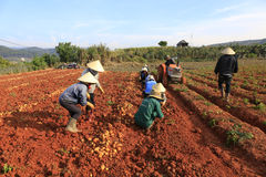 Dalat, Vietnam, il 18 gennaio 2016: Agricoltore che raccoglie le patate nel campo Fotografie Stock Libere da Diritti