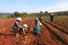 Dalat, Vietnam, il 18 gennaio 2016: Agricoltore che raccoglie le patate nel campo Fotografia Stock Libera da Diritti