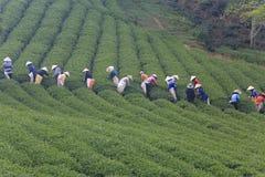 Dalat, Vietnam, il 30 maggio 2016: Un gruppo di agricoltori che selezionano tè su un pomeriggio di estate nella piantagione di tè Immagini Stock