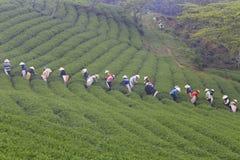 Dalat, Vietnam, il 30 maggio 2016: Un gruppo di agricoltori che selezionano tè su un pomeriggio di estate nella piantagione di tè Fotografia Stock Libera da Diritti