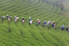 Dalat, Vietnam, il 30 maggio 2016: Un gruppo di agricoltori che selezionano tè su un pomeriggio di estate nella piantagione di tè Immagine Stock Libera da Diritti