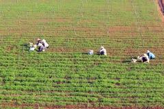 Dalat, Vietnam, 18 Januari, 2016: Landbouwer die op gebied werken Stock Foto