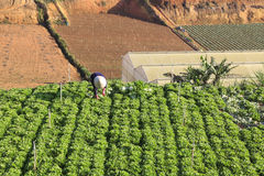 Dalat, Vietnam, 18 Januari, 2016: Landbouwer die op gebied werken Royalty-vrije Stock Foto's