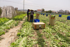 Dalat, Vietnam, le 19 avril 2016 : Agriculteur moissonnant la laitue sur classé Photos stock