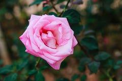 DALAT, VIETNAME - 17 de fevereiro de 2017: Colora rosas na cidade do Lat da Dinamarca da flor em Vietname Imagens de Stock Royalty Free