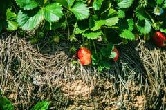 DALAT, VIETNAME - 17 de fevereiro de 2017: Exploração agrícola da agricultura do campo da morango Fotografia de Stock