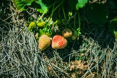 DALAT, VIETNAME - 17 de fevereiro de 2017: Exploração agrícola da agricultura do campo da morango Foto de Stock Royalty Free