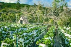 DALAT, VIETNAME - 17 de fevereiro de 2017: Exploração agrícola da agricultura do campo da morango Fotos de Stock