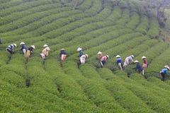 Dalat, Wietnam, Maj 30, 2016: Grupa rolnicy podnosi herbaty na lata popołudniu w Cau Data herbacianej plantaci Obrazy Stock