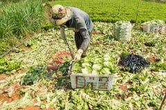Dalatlandbouwers die de salade havesting Stock Foto