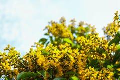 Dalbergia tonkinensis Fotografia Royalty Free