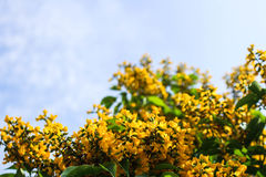 Dalbergia tonkinensis Royalty Free Stock Images