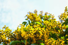 Dalbergiatonkinensis Royaltyfri Fotografi