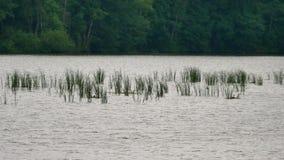 Dalecy czub zielone płochy w ptasiej rezerwaci Rośliny huśta się i macha w wiatrze Jezioro z małą głębią, odbicie w wodzie zbiory wideo