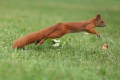 Dalekie skok wiewiórki w parku w Warszawa Fotografia Royalty Free