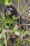 daleko od patrzejący małpi Zdjęcia Stock