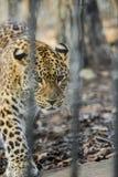 dalekowshodniego lamparta silny szybki dzikie zwierzę fotografia stock