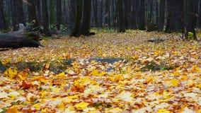 Dalende bladeren in de herfstbos stock videobeelden