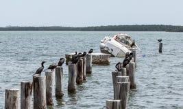 Dalende Boot in Florida met Troep van Aalscholvers Stock Afbeeldingen