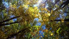 Dalende de herfstbladeren van een slowmotion boom, stock videobeelden