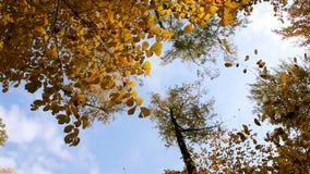 Dalende gele esdoornbladeren stock videobeelden