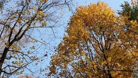Dalende gele esdoornbladeren stock video