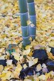 Dalende gele Ginko-bladeren rond bamboeboom in de herfst Stock Fotografie