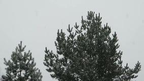 Dalende sneeuw op pijnboombomen stock video