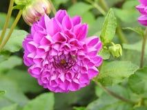 Dalhia是增长的一朵非常美丽的花 图库摄影
