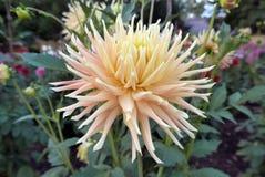 Dalhia-Rosakaktus mit großer Blume Lizenzfreies Stockbild