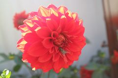 Dali flowers Stock Photography