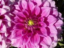 dalia_12背景的美丽的叶子 免版税库存图片