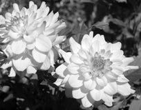 Dalia Imagenes de archivo