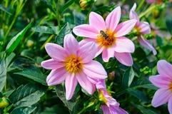 Dalia, abeja en una flor Céntrese lo en las flores Imagen de archivo