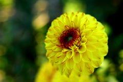Dalia amarilla Imagen de archivo libre de regalías
