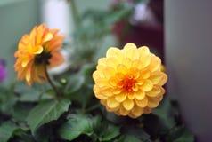 Dalia amarilla Fotografía de archivo libre de regalías