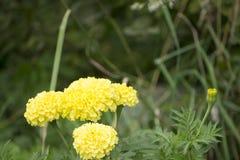 Dalia amarillo claro semidoble clásica un género de plantas perennes espesas, tuberosas, herbáceas en la floración en el verano q Imágenes de archivo libres de regalías