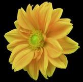 Dalia amarillo-naranja de la flor, fondo negro con la trayectoria de recortes primer Ningunas sombras centro de color verde amari Fotos de archivo libres de regalías