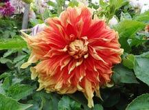 Dalia amarillo-naranja en jardín Fotografía de archivo