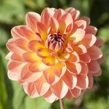 Dalia anaranjada de la flor Fotografía de archivo
